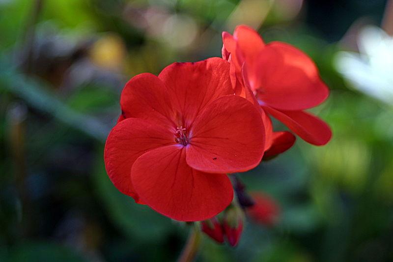 800px-Red_geranium_3