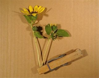 Sunflowers-tiny-clothespin